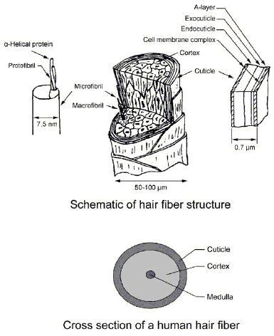Schematic of hair fibre structure